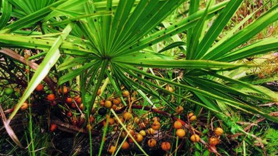Prostate Health: What Is Saw Palmetto? – Dr. David Samadi Explains Its Benefits And Uses