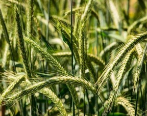 What Is Rye Grass Pollen Extract?