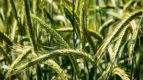 Prostate Health: What Is Rye Grass Pollen Extract? – Dr. David Samadi Explains It's Uses For Your Prostate